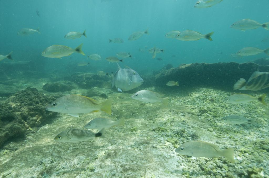 Shoal of fishes in Pacheca Island shore. Las Perlas Archipelago, Panama province, Panama, Central America.